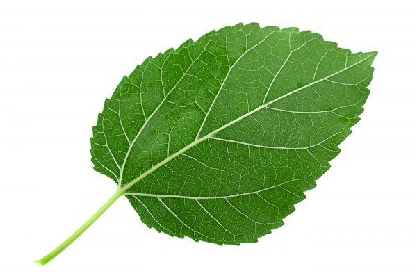 Mulberry leaf closeup isolated on light background