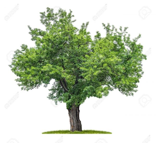 20744574-isolated-mulberry-tree-on-a-white-background